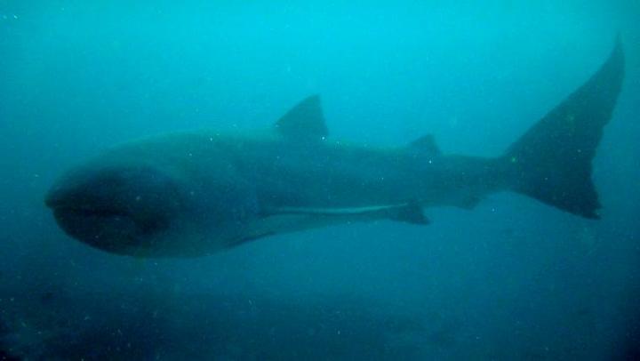 Denne haien har nesten ingen sett før
