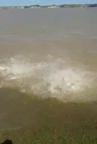 Así atacan las palometas en el río Paraná
