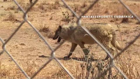 Una manada de lobos canadienses encuentra su hogar en Sudáfrica
