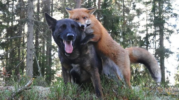 Hund og villrev er bestevenner