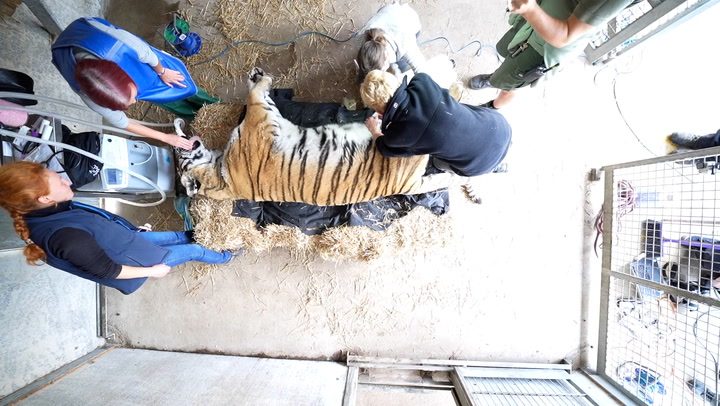 Wildlife park 'relieved' as Vlad the tiger survives anaesthetic