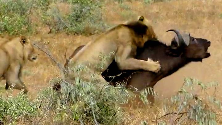 Bøffelen taper kampen mot løvene, men så ...