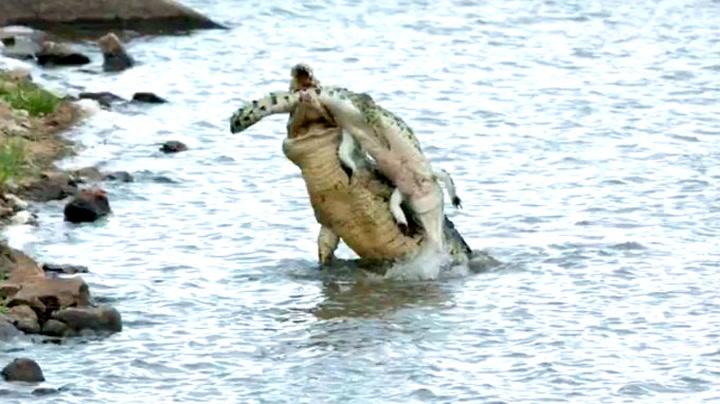 Sjeldent syn: Her slår kannibal-krokodillen til