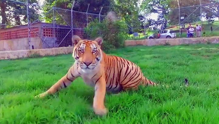 Tiger fikk nok av innpåsliten drone