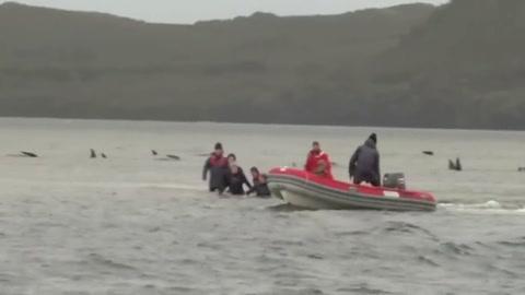 Rescatistas luchan por salvar casi 200 ballenas varadas en Australia