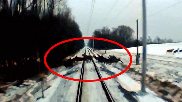 Hjorteflokken krysser sporet - så kommer toget