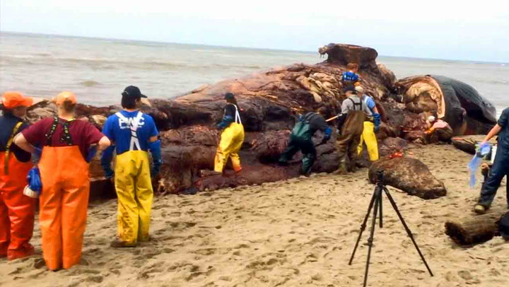 Enorm blåhval skylt i land
