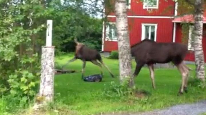 Her blir elgen skremt av gressklipperen