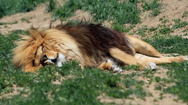 Løve som sover vekker oppsikt