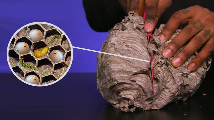What's inside a wasp's nest?
