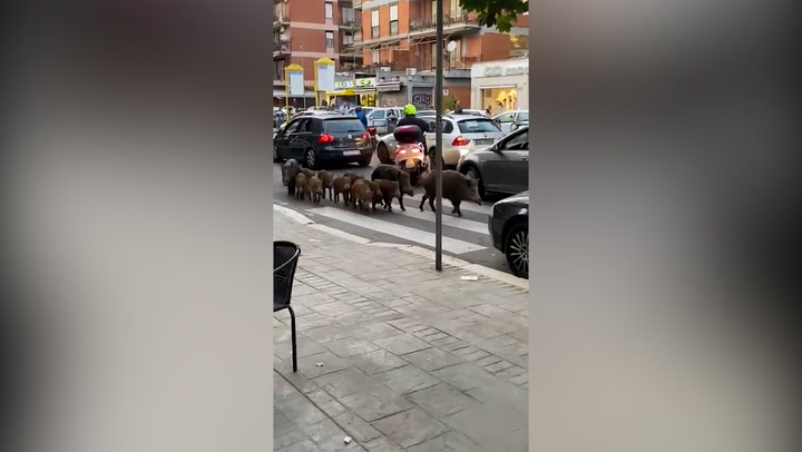 Wild Boars invade Rome and stop traffic on streets of Italian capital