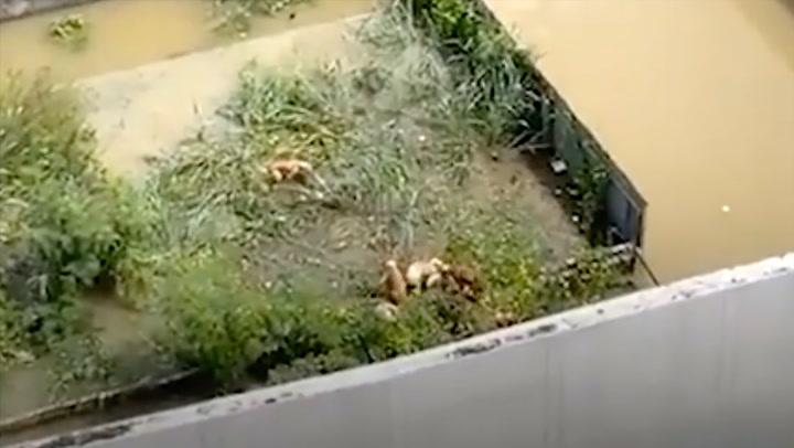 ช่วยน้องด้วย! หนุ่มไลฟ์สด ฝูงน้องหมาติดน้ำท่วม ปีนกำแพงหนีน้ำ