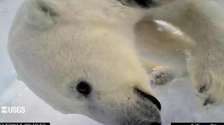 Slik er en dag i livet til isbjørnen