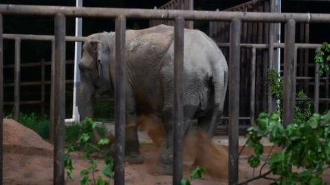 Ramba, una elefante rescatada de un circo, llega a un santuario en Brasil