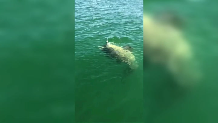 Giant fish takes down shark in incredible video