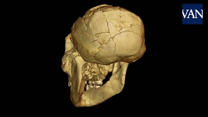 Las huellas cerebrales de hace 3 millones de años en cráneos fósiles de la especie Australopithecus afarensis como este de la niña de Dikika, también conocida como Selam, arrojan nueva luz sobre la evolución del crecimiento y la organización del cerebro.