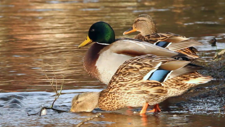 What to Feed Ducks - Best Duck Food