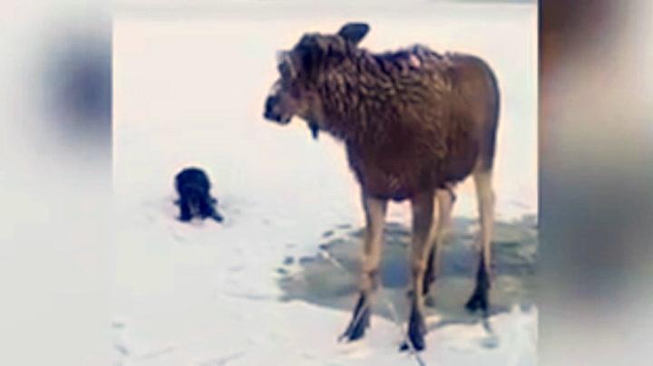 Elg reddet opp av iskaldt vann