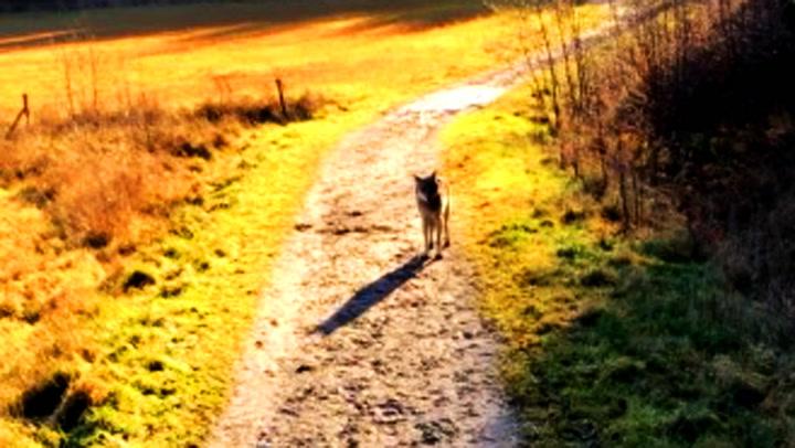 Plutselig stod ulven et steinkast fra Tove