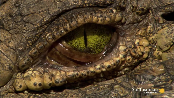 Astounding Facts About Crocodile Eyes | Smithsonian