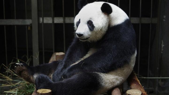 Utspekulert panda bløffet graviditet