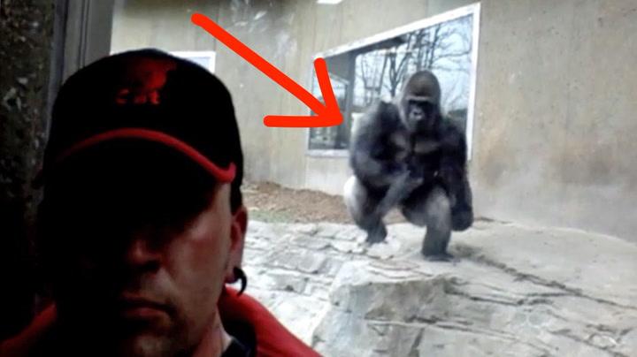 Plutselig kommer gorillaen stormende mot turisten