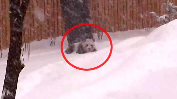 Se pandaen Da Mao base i snøen
