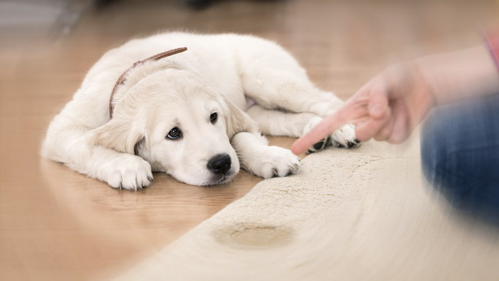For Floors' Sake! Smart Tips for Housetraining Your Puppy