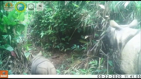 Dos cachorros de rinoceronte de Java, especie en extinción, avistados en parque indonesio