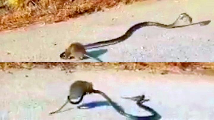 Rotte tok opp kampen mot grådig slange