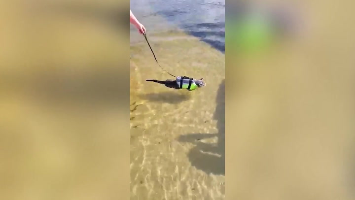 Meet Bandit, the cat who loves to swim