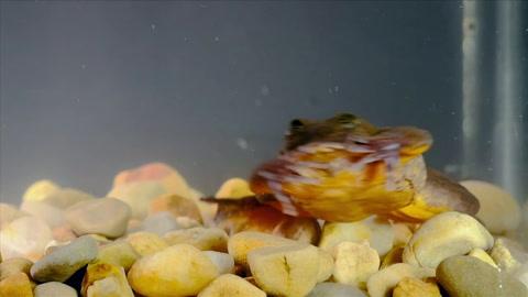 La rana Romeo de Bolivia ya tiene a su Julieta, que evitaría la extinción de su especie.