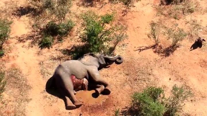 Preocupación por la misteriosa muerte de unos 300 elefantes en Botsuana