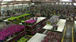 Colombia's flower industry ready for biggest selling day