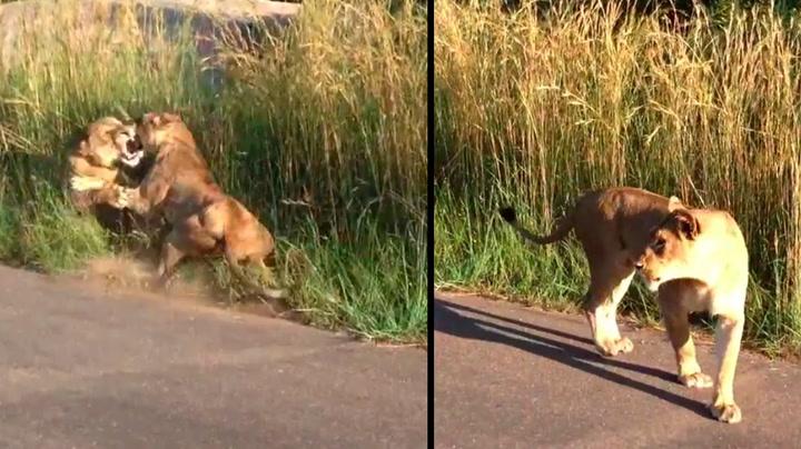 Denne løven bråkte med feil løvinne
