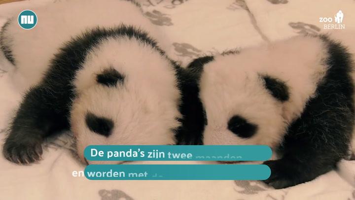 panda's in dierentuin