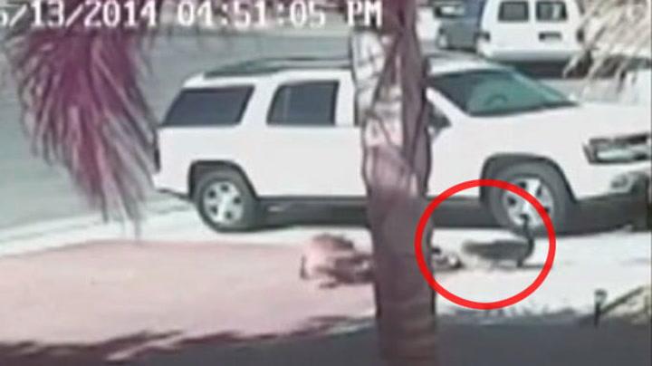 Katt redder gutt fra hundeangrep