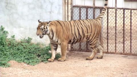 Mueren decenas de tigres confiscados en un templo de Tailandia