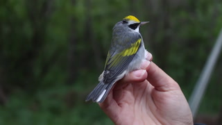 Identifying and banding songbirds at Hawk Ridge