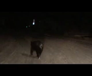 Bear sighted near Spicer