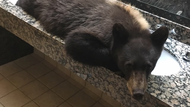This bear makes himself at home in a hotel bathroom