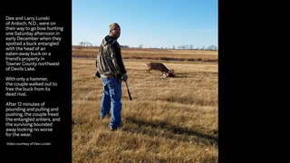 In this video grab, Larry Lunski of Ardoch, N.D., uses a hammer to free the antlers of an entangled buck from the head of its dead rival Dec. 2 in Towner County northwest of Devils Lake. Lunski and his wife, Dee, were able to free the buck, which bounded to freedom. (Video/photo courtesy of Dee Lunski)