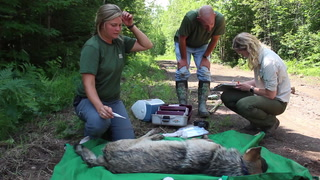Tracking wolves for research north of Duluth