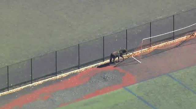 Police Round Up Bull on Brooklyn Soccer Field