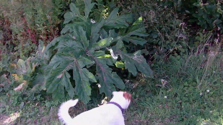 Giant Hogweed Burned the Heck Out of Americans This Year