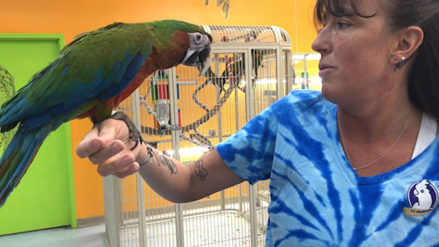 Rare parrot Milly says 'hi' and 'I love you'