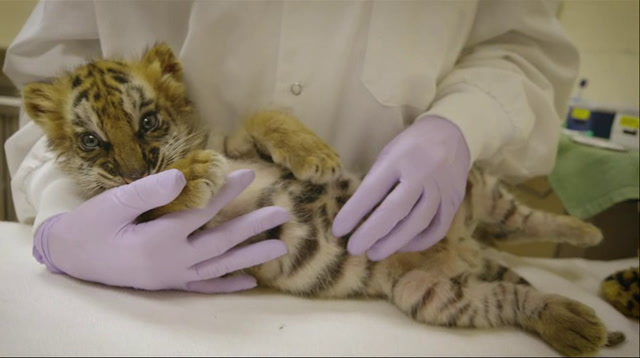 Confiscated Tiger Cub Doing Well at San Diego