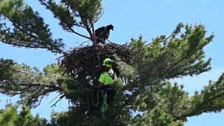 Austin VanScoy with Mike's Tree Company releases an eaglet into a nest on the eastern shore of Pelican Lake north of Merrifield Thursday, June 13. The eaglet fell from the nest and a homeowner worked to have the bird transported to Wild and Free Wildlife Rehabilitation in Garrison, where it was examined for injury. A volunteer from the organization delivered the bird Thursday. Steve Kohls / Brainerd Dispatch