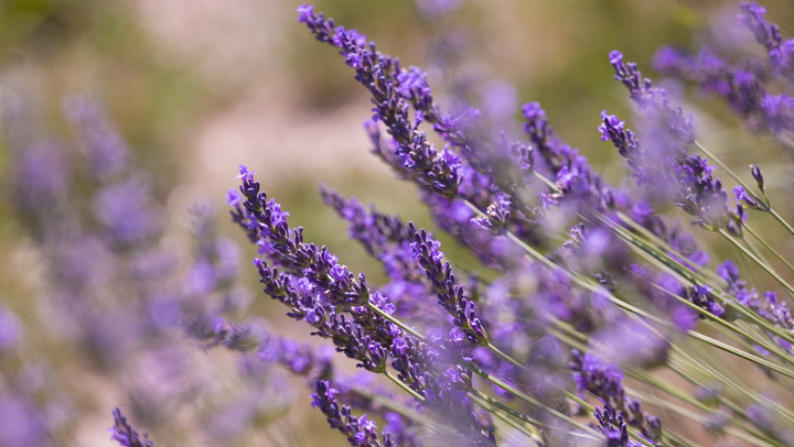 8 beneficios de la lavanda