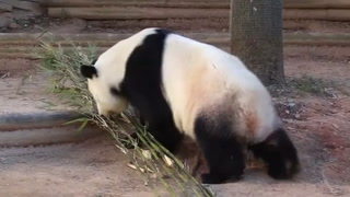 Atlanta zoo giant panda twins is pregnant again